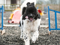 Newfoundland on an agility course