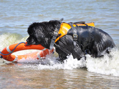 Newfoundland retrieving a life buoy