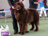 Special Open Dog (Brown) winner