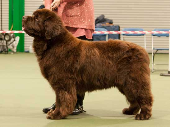 Winner of Special Open Brown Dog